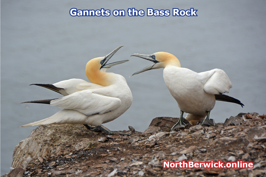 Gannets squabbling on the Bass Rock
